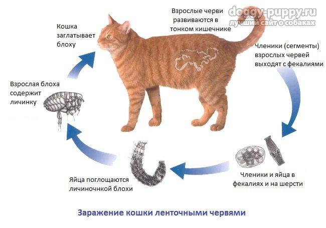 Глисты у кошек и собак