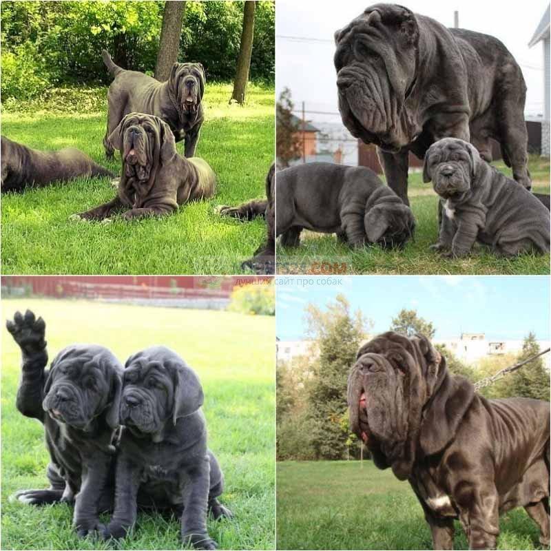 очень крупные породы собак