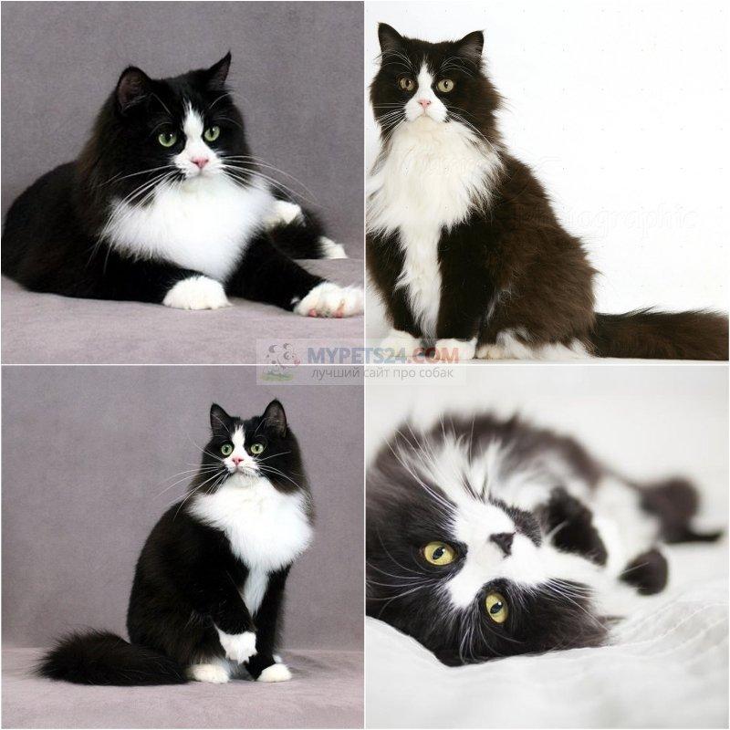 Породы черных кошек. Фото и описание