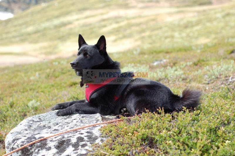Норвежский черный элкхунд