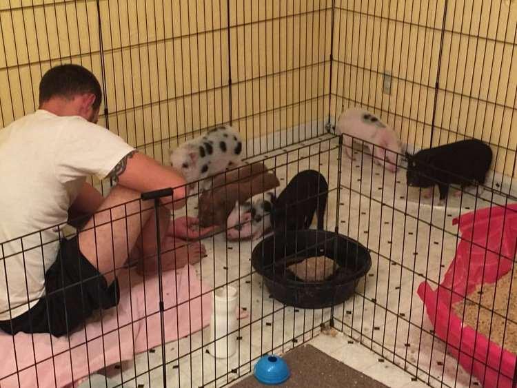 мини пиги в квартире