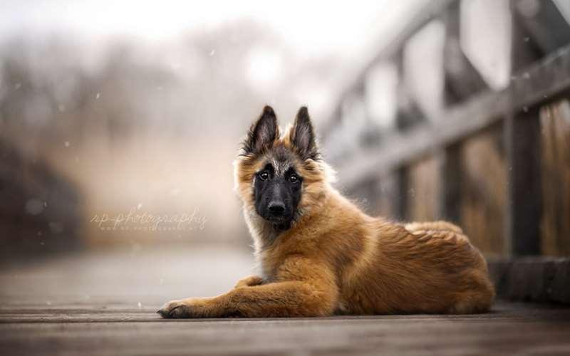 Немецкая овчарка фото