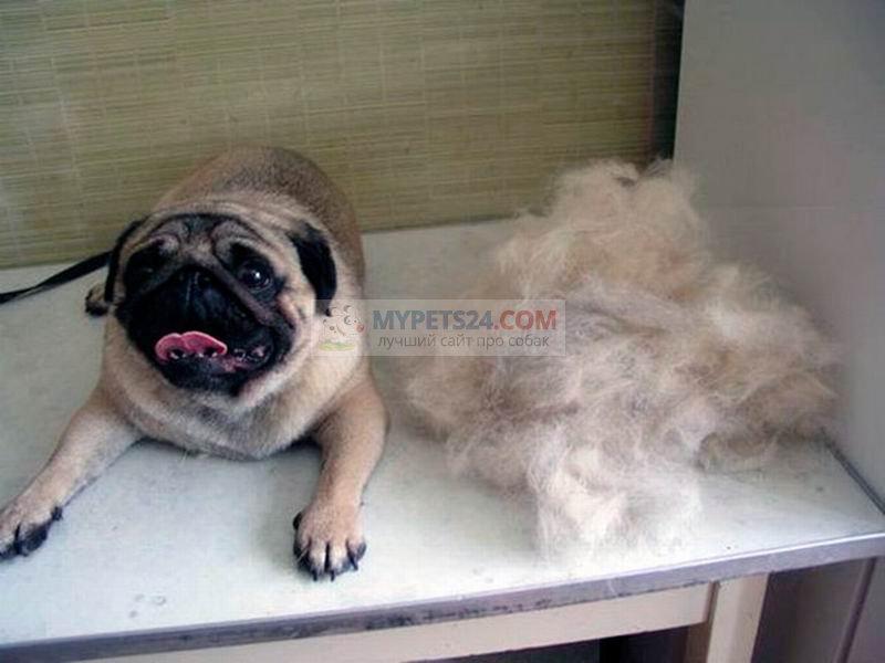 Собака сильно линяет. Как бороться с шерстью?
