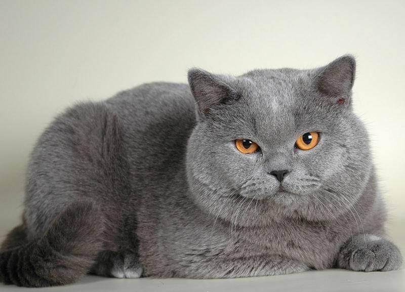 Вес и размер британской кошки или кота