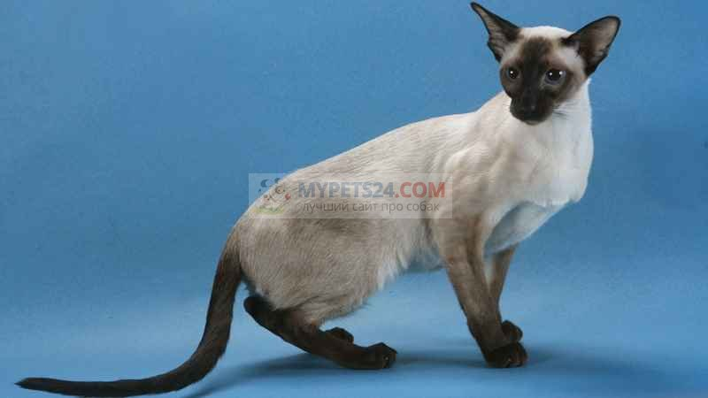 Сиамская кошка фото