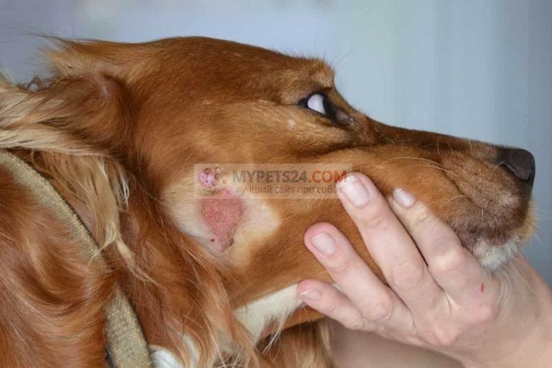 Экзема у собак: симптомы и лечение