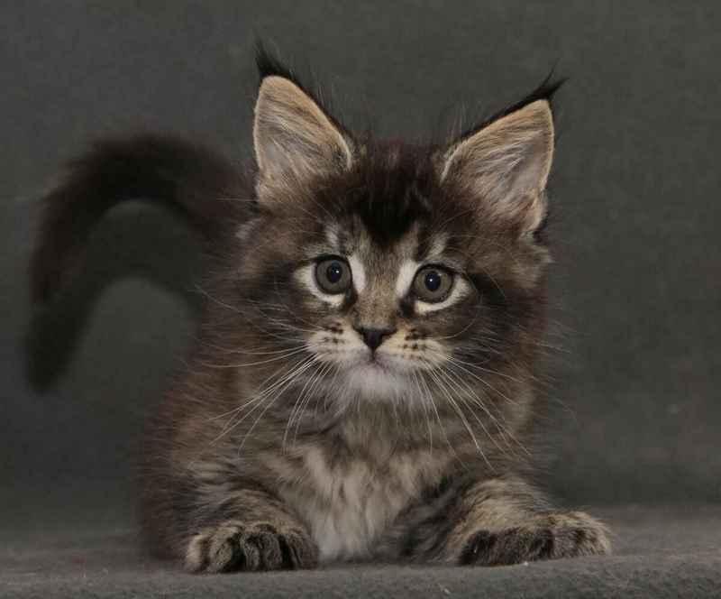 породы кошек Мэйн-кун