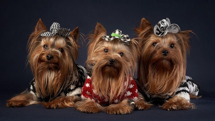 декоративные породы собак2