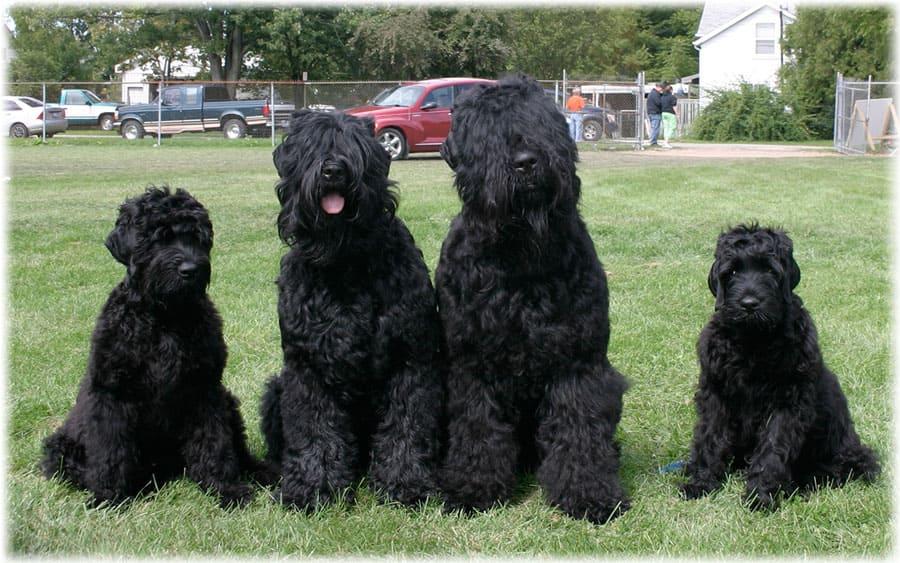 Черный терьер щенки