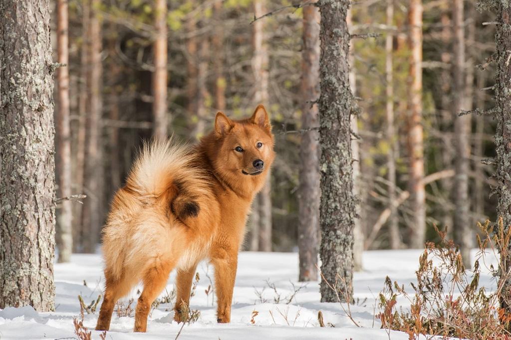 karelo-finskaya-lajka-finskij-shpic-opisanie-porody