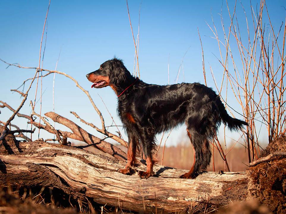 шотландская охотничья собака