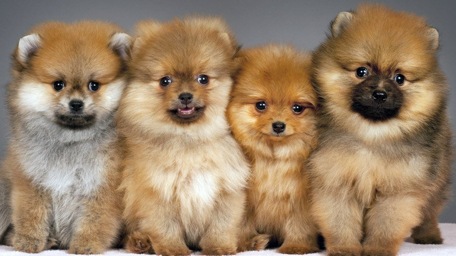 pomeranian-dog-photo