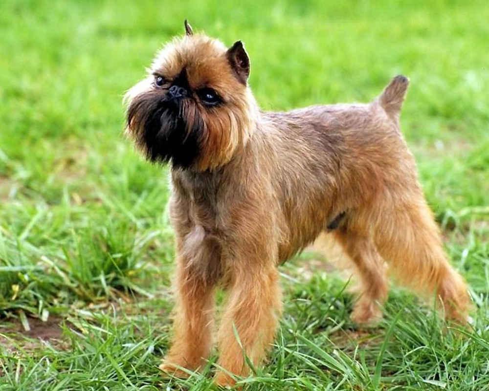 бельгийский грифон порода собаки