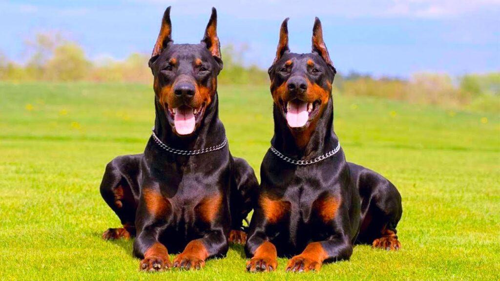 собаки для охраны фото