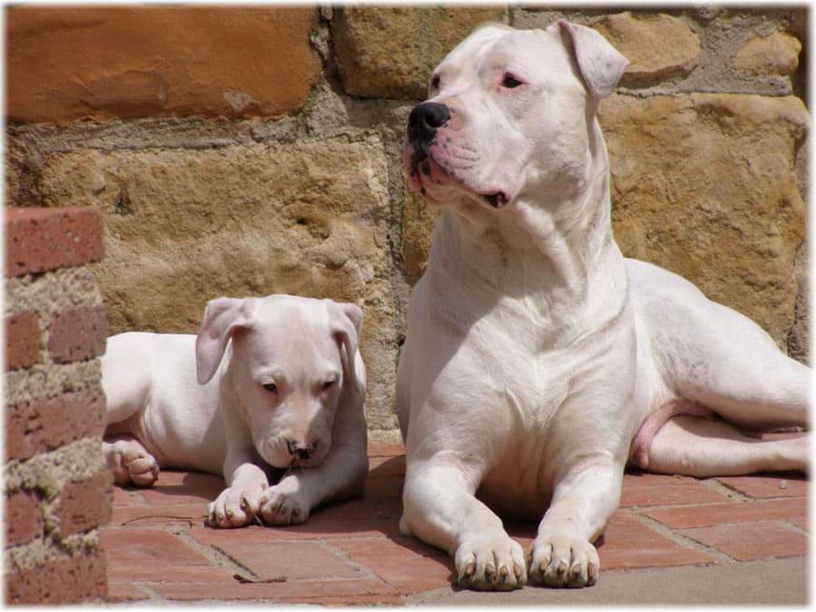 argentinskiy-dog