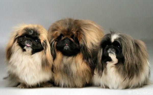 щенки пекинеса