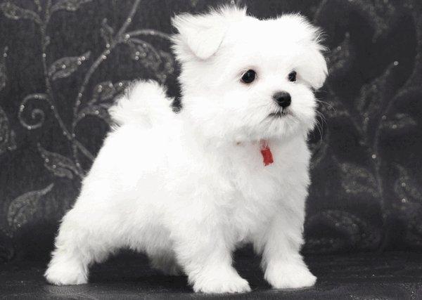 мальтезе собака