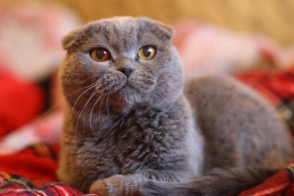Шотландская вислоухая кошка2