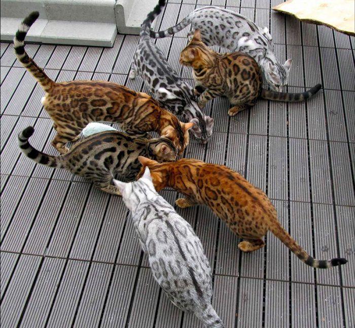 ьенгальская кошка какие бывают окрасы