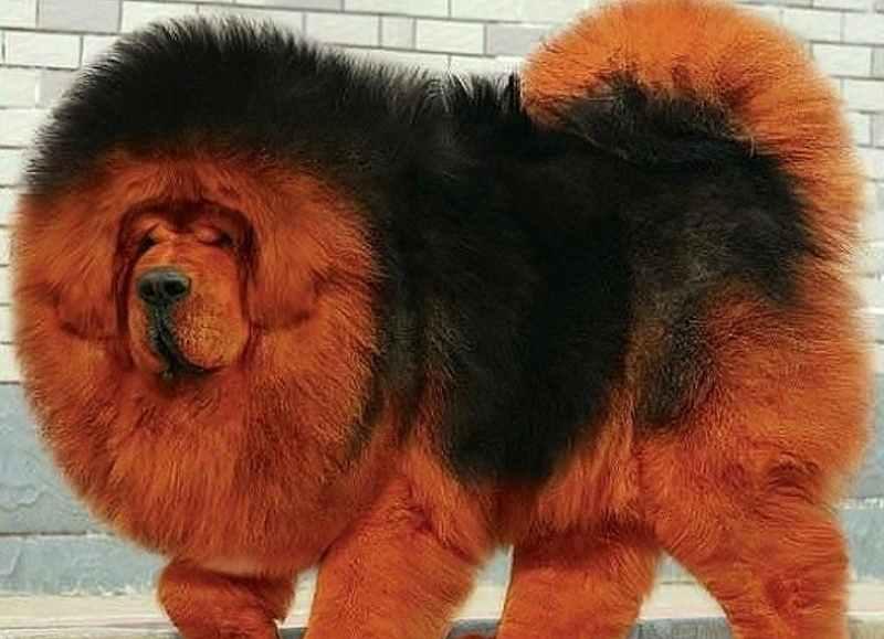 тибетский мастиф фото сайт