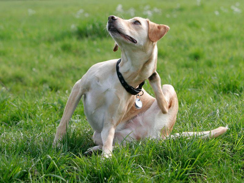 экзема у собак