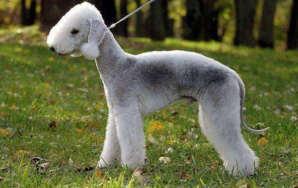 необычное собака бедлингтон терьер