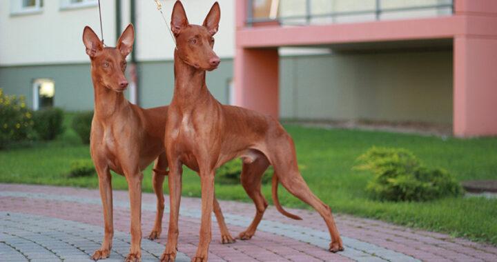 вязка фараоновых собак