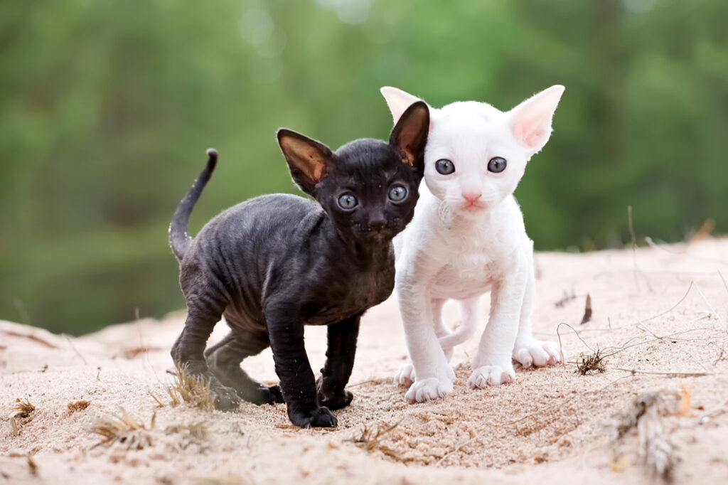 white and black cornish rex kittens on sand beach