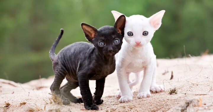white and black cornish rex kittens on sand beach