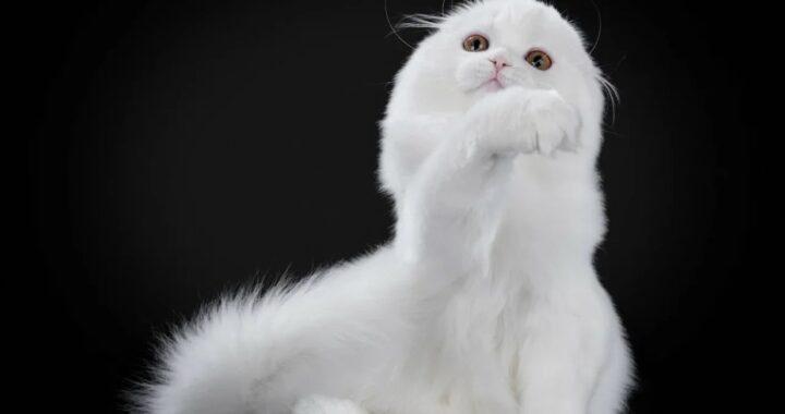 фото вислоухий котенок2