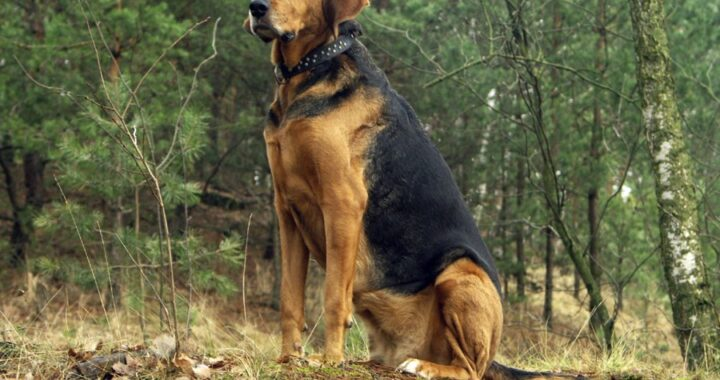 польская гончая огар порода собак с фото