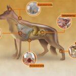 Таблетки от клещей, блох и других паразитов Бравекто