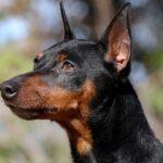 Непоседливый карликовый пинчер. Характеристика породы собак