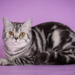 Шотландская прямоухая мраморная кошка: породные особенности, содержание, как выбрать